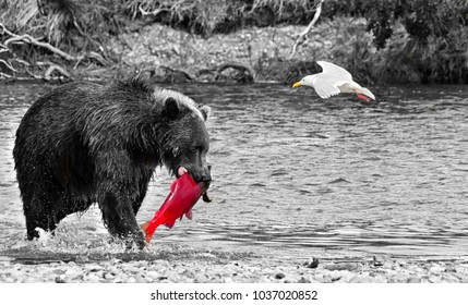 A voracious giant brown bear with a salmon in its mouth and a seagull flying in a river in the Katmai peninsula. Wildlife in the Alaskan territory during summer. Black and White