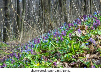 Voronezh/Russia April 24th, 2018: Beautiful Irises flower Spring flowers in Dinamo park in Voronezh State, Russia