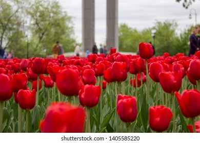 Voronezh/Russia- May 9th 2017: Tulip flower in victory square of Voronezh State, Russia in Victory's day 9th May