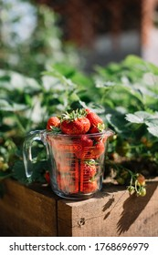 Voronezh/Russia-06.26.2020: Delicious freshly picked red ripe strawberries in a glass pyrex measuring cup, standing on a wooden sides of a berry patch, close up view