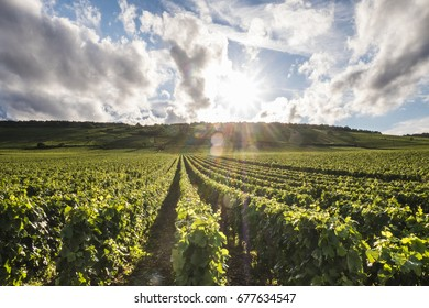 VOUGEOT- JUNE 28, 2017:  Vineyards in the Cote de Beaune wine-producing region in Burgundy, with sun about to set.