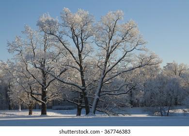 V-shaped oak in the park Alexander park of Tsarskoe Selo, St.Petersburg, Russia