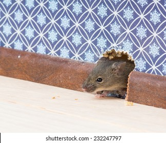 Vulgaris house mouse (Mus musculus) gets into the room through a hole in the wall