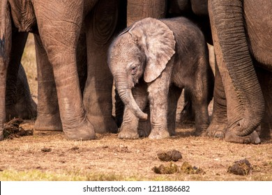 A vulnerable very young African elephant calf surrounded by the protective adults in the herd.