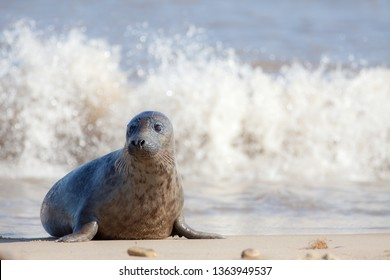 Vulnerable wildlife. Sad frightened looking young animal. Cute baby seal alone on the beach. Nature in need of protection. Grey seal from the Horsey colony Norfolk UK. Marine mammal conservation.
