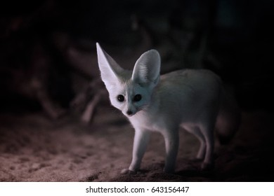 Vulpes zerda, Fennec fox , close up, night photo of  nocturnal fox with large ears, staring at camera.