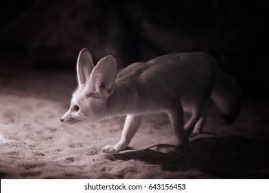 Vulpes zerda, Fennec fox , close up, night photo of  nocturnal fox with large ears, looking for food.