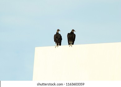 vulture bird couple on advertisement board in sky background