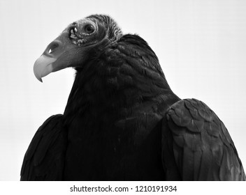 A vulture is a bird of prey. 2 types of vultures are the New World vultures, Californian and Andean condors Old World vultures birds scavenging on carcasses of dead animals on African plains.