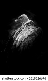 Vulture in black and white.