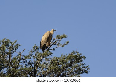 Vulture (Cape) (Gyps coprotheres) in the kalahari desert,