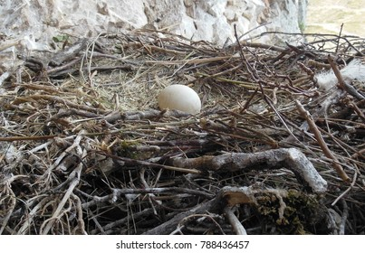 VULTURE EGG IN THE NEST
