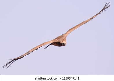 Vulture in Ethiopian