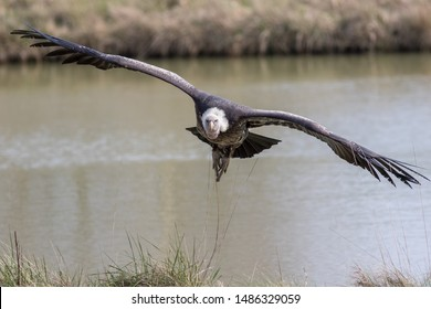 Vulture in flight. Ruppells griffon vulture (Gyps rueppelli) scavenger bird flying towards camera. Vulture with wings outstretched facing camera in low soaring flight over water.