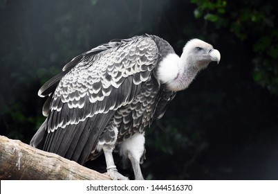 Rüppell's Vulture or Rüppell's Griffon Vulture (Gyps Rueppelli). Family: Accipitridae.