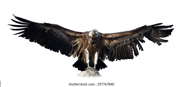 vulture. Isolated over white background
