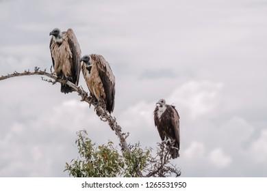 Vulture in Massai Mara