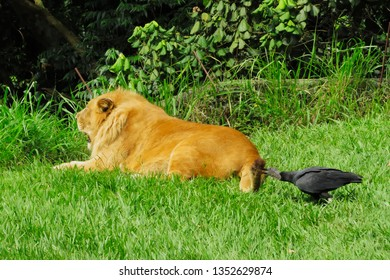 vulture nudging the tail of a lying lion, sao paulo, brazil
