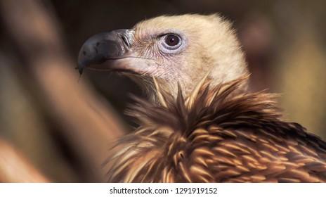 Vulture portrait close up. Vulture head. Vulture beak. Vulture with beautiful feather