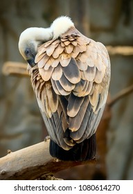 A vulture is a scavenging bird of prey