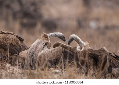 Vultures in the Etosha National Park, Namibia