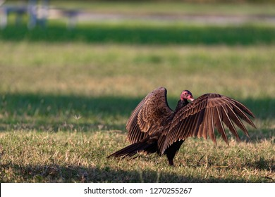 Vultures in Everglades National Park in Florida, U.S.
