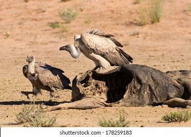 Vultures fighting at carcass for domination of the food in dry kalahari