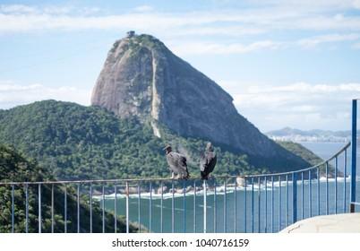 Vultures and Sugarloaf, Rio de Janeiro, Brazil