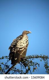 Vultures in a tree  (Masai Mara; Kenya)