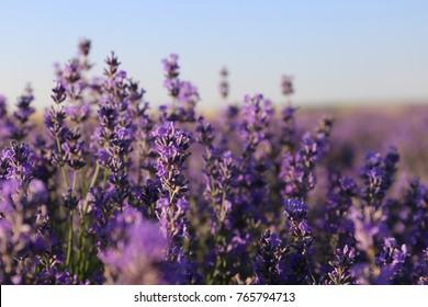 vuolet flowers of lavander at lavender field provence france