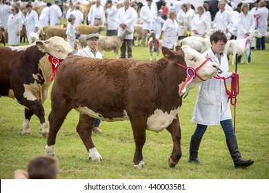 Wadebridge, Cornwall, UK, June 11 2016 - Showing cattle and livestock at a local show on a sunny day in a grass field