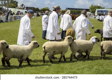 Wadebridge, Cornwall, UK, June 6 2015 - Showing Sheep in a parade in a green grass field at a local show