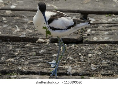 Wader bird. Long beak. Brown, Black and White.