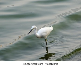 Wader searching for small fish in shallow water