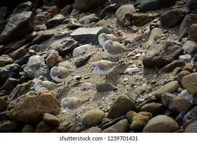 Waders sheltering from wind on a stony beach.