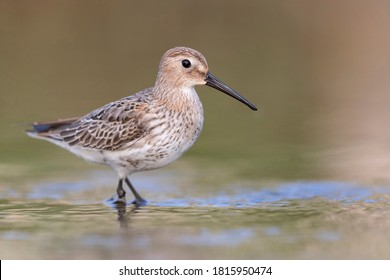 Waders or shorebirds, dunlin on the beach