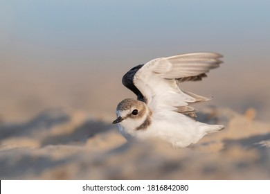 Waders or shorebirds, kentish plover on the beach