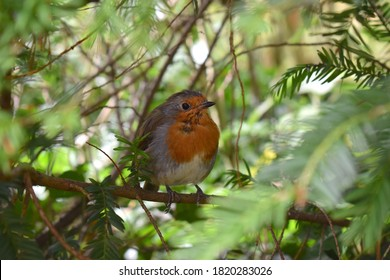 Wadhurst, UK - September 9 2020: Adult robin bears orange breast and face Upperparts are brownish or olive-tinged in British birds the belly whitish legs and feet are brown The bill and eyes are black