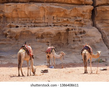 Wadi Rum,Jordan - September 24,2018 : The camels in Wadi Rum desert