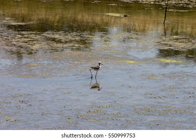 Wading bird in Il de Re marshes France
