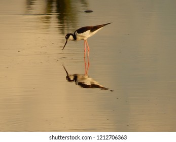 Wading Bird with Reflection on Water