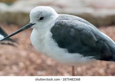 Wading bird Sandpiper with a long beak. Closeup shot. Latin name Charadrii.