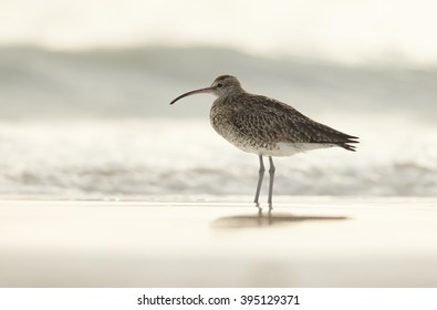 Wading bird, Whimbrel, Numenius phaeopus standing in shallow water on white beach of Zanzibar island against blurred waves in background.