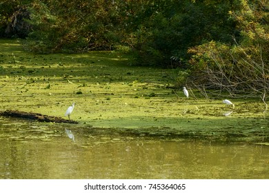 wading birds on green mudflat near the  shore in Mincio river Park around Town, shot in bright fall light at Mantua, Italy