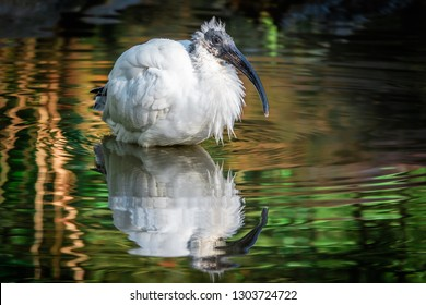Wading black-headed ibis (Threskiornis melanocephalus), also known as the Oriental white ibis, Indian white ibis, and black-necked ibis with reflection. Resident bird of Mekong Delta, Vietnam.