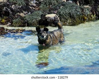 wading dog