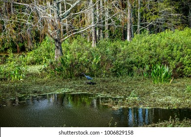wading little blue herons in Florida cypress swamp
