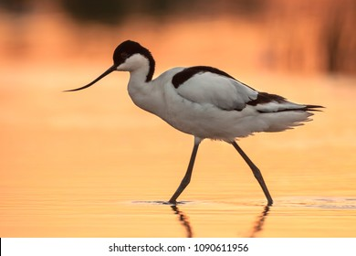 Wading pied avocet (Recurvirostra avosetta) walking in water in early orange light and looking for food during sunrise