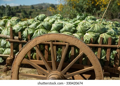A wagon load of cabbages sitting on a Burmese farm