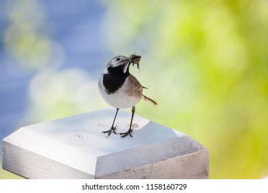 Wagtail bird with insects in beak